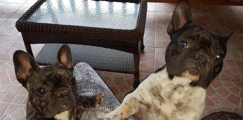 Persi due cuccioli di bulldog francesi: appello dei padroni