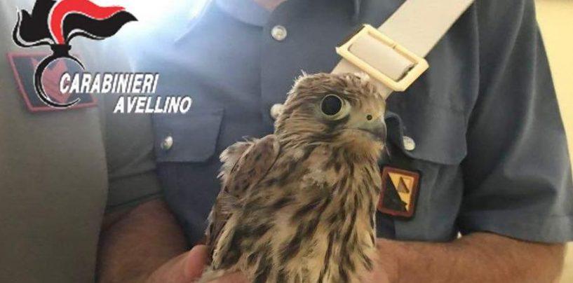 Giovane falco messo in salvo da Carabinieri e Forestale