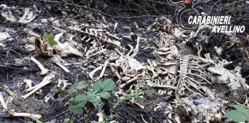 Smaltimento illecito di carcasse di animali: si indaga a Volturara