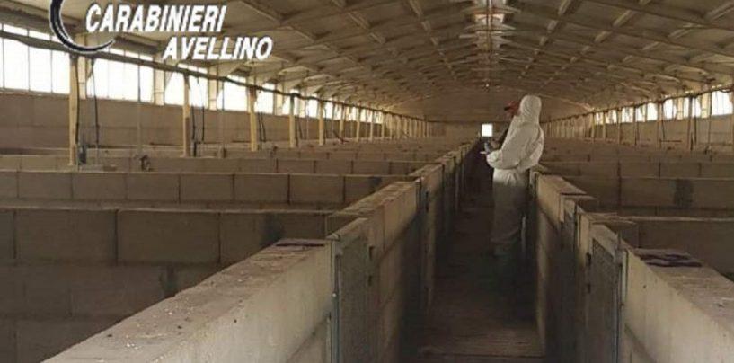 Sequestrato allevamento con oltre 2600 suini: in cinque nei guai