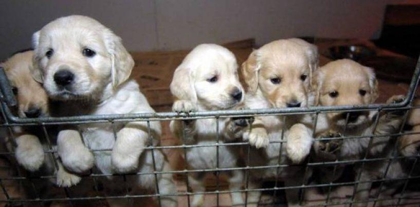 Smantellato traffico illegale di cani dalla Slovacchia: oltre cento cuccioli sequestrati