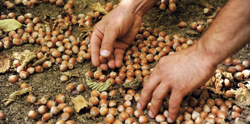 Nocciole, è crescita ad Avellino: lo certifica l'ordine degli agronomi