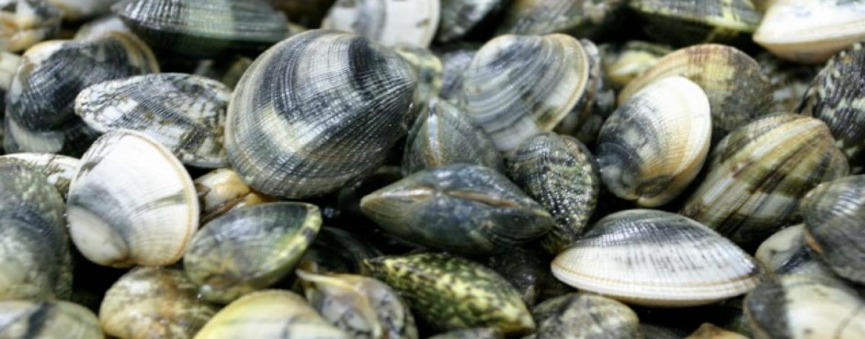 Vongole della foce del Sarno piene di metalli pesanti: è allerta in Europa