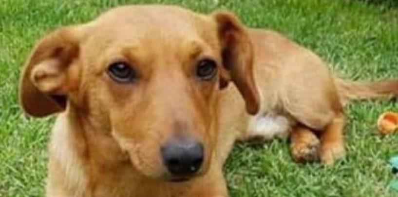 Si è perso Diego, bellissimo cane di tre anni: aiutiamolo a tornare a casa