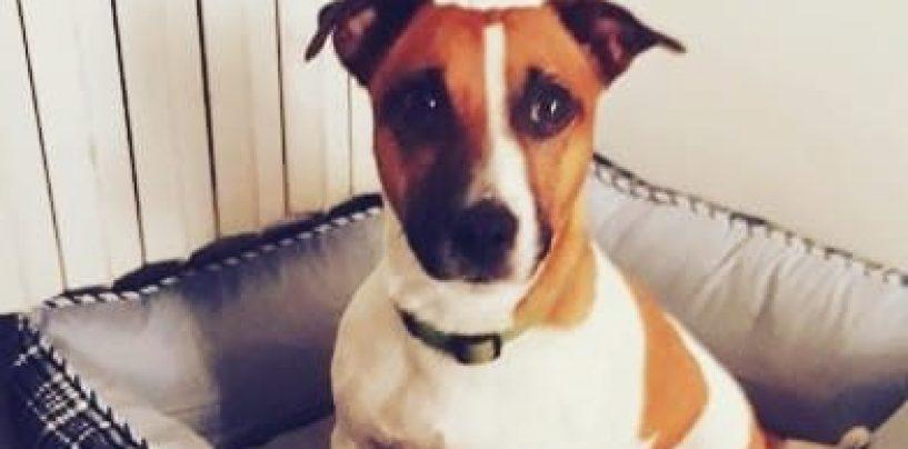 Smarrito cagnolino Jack Russel, l'appello per ritrovarlo