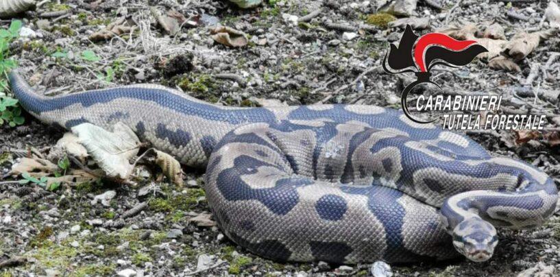 Montefredane: carabinieri forestali catturano un pitone
