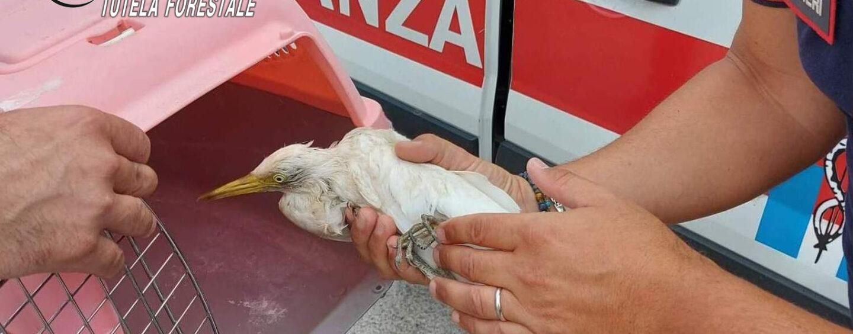Serino: salvato un airone bianco