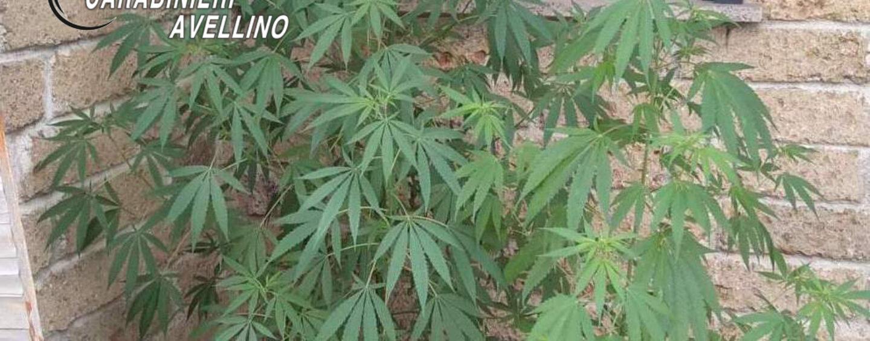 Coltiva marijuana sul balcone di casa, denunciata 56enne di Aiello del Sabato