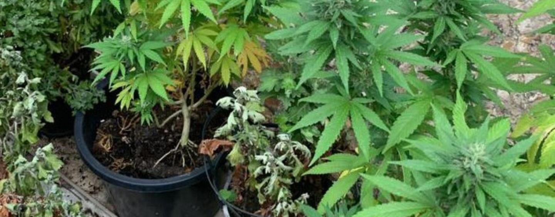 """Il fiuto di """"Olli"""" guida i Forestali: arrestata coppia di coltivatori di marijuana"""