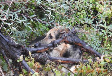 Accademia Kronos, guardie giurate ambientali e zoofile: salvano 3 cani legati ad alberi