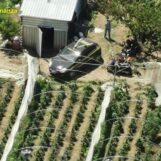 VIDEO-FOTO/ Gigantesca piantagione di cannabis scoperta tra Giugliano in Campania e Quarto