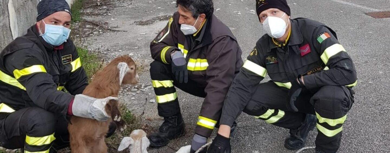 Due capre ed un agnellino sul balcone dell'ex Maffucci di Avellino: recuperati dai vigili del fuoco