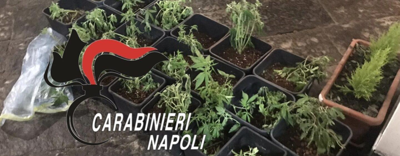 A Pomigliano, Sant'Anastasia e Brusciano controlli a tappeto dei carabinieri: 86 piantine di marijuana sequestrate e rinvenuti in una botte una revolver e giubbotti antiproiettili