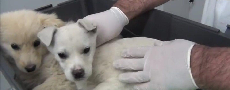 Bellizzi: salvati i due cuccioli avvelenati e abbandonati, ora aspettano di essere adottati/VIDEO