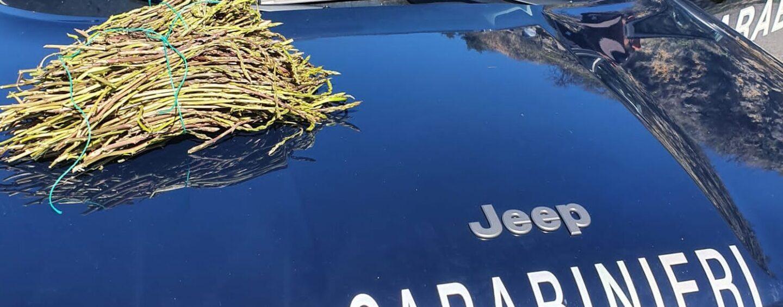 Raffica di sanzioni in Campania per i furbetti dell'asparago
