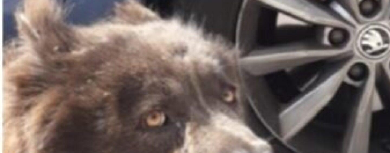 Cane impaurito vagava sulla Napoli-Bari: salvato dalla polizia stradale di Avellino