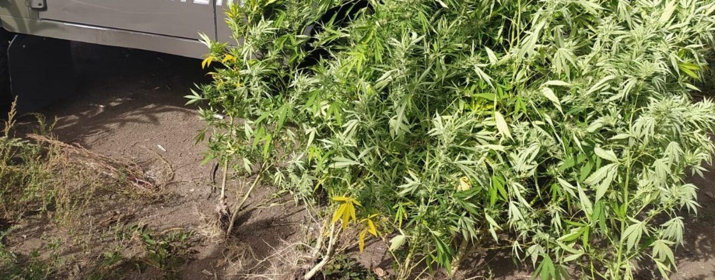 Contrada: carabinieri forestali sequestrano 7 piante di cannabis