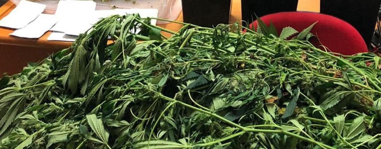 Coltiva cannabis in un terreno di Cervinara: arrestato 37enne