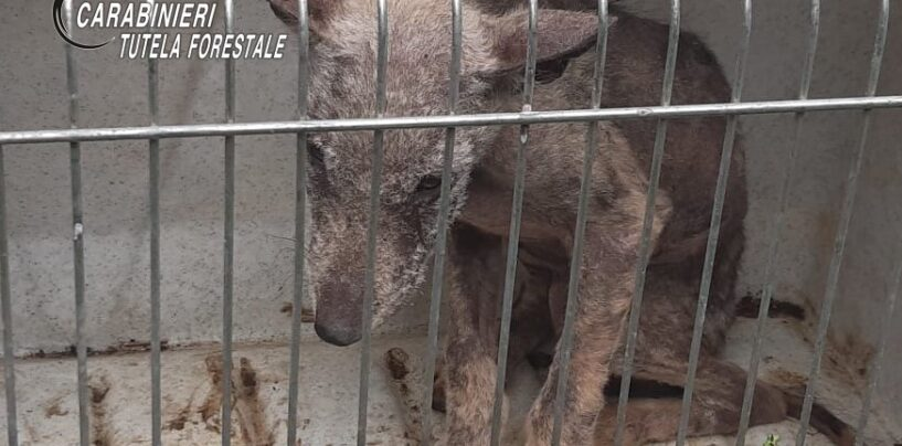 Si era perso nei boschi di Montella: soccorso e salvato cucciolo di lupo
