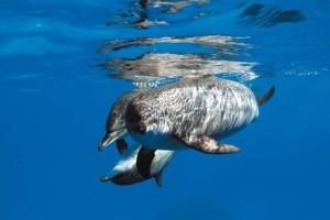 Delfini nel Mar Rosso , Foto Antonio Bergamino