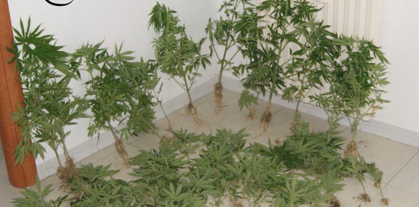 Montecalvo, scoperta vasta piantagione di marijuana