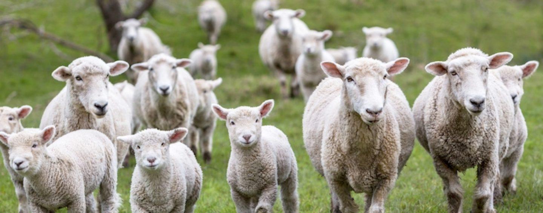 Avellino, protesta via web contro la strage degli agnelli