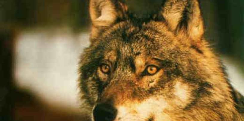 Immortalato un lupo nell'Oasi WWF Valle della Caccia di Senerchia