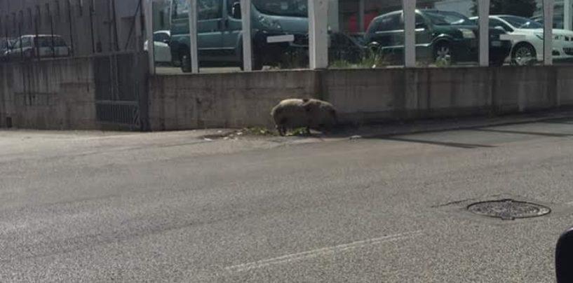 FOTO/ Avellino – Un maiale passeggia in strada a Pianodardine