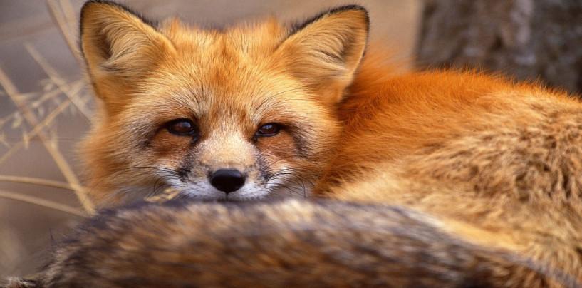 Liberate le due volpi finite in gabbia, tornano a vivere nel loro habitat naturale